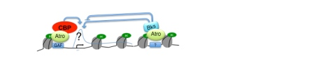 Three co-regulators Atrophin (Atro), Brakeless (Bks) and CBP interact on chromatin