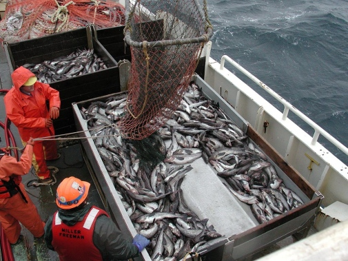 To end unsustainable practices such as overfishing and destructive impacts on marine life Swedish scientist from Stockholm Resilience Center have formed a coalition with global fishing companies. Photo: Wikimedia commons