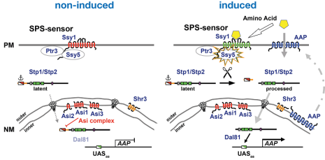 SPS-sensing pathway in Saccharomyces cerevisiae