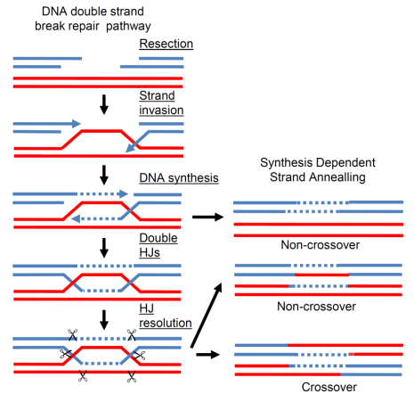 Schematic picture of the DSBR and SDSA-pathways for DSB repair. The severed chromatid is shown in bl