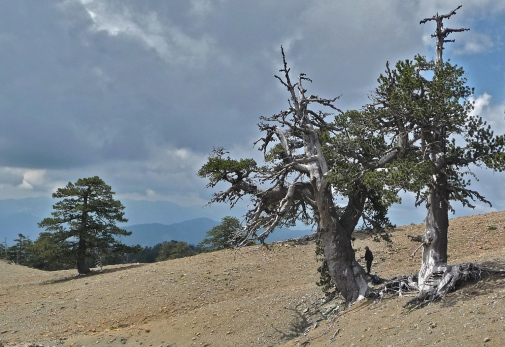 Drought sensitive 1000-year old trees from the mountains of Greece. Indirect recorders of past precipitation and drought variability such as tree-ring width data were used by the re-searchers to reconstruct twelve centuries of Northern Hemisphere hydroclimate variability. Photo: Paul J. Krusic.