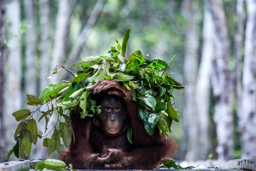 An orangutan builds an umbrella against the rain. Efficient and intelligent behaviour that can be explained by new research from Stockholm University and Brooklyn College. Photo: Johan Lind/N.