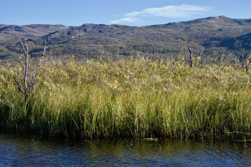 Wetland edges at Stordalen Mire, near Abisko in northern Sweden. Photo: Brett Thornton.