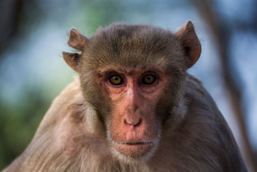 Macaques, and other animals, have great difficulties in distinguishing between sequences of stimuli. This might be what separates humans from other animals. Photo: Johan Lind/N
