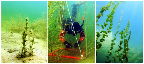 Underwater plants can contribute to a better water quality, shows a new study. The diver Marin van Regteren is studying the plants Chara horrida, Stuckenia pectinata, Myriophyllum sibiricum and Potamogeton perfoliatus. Photo: Joakim Hansen
