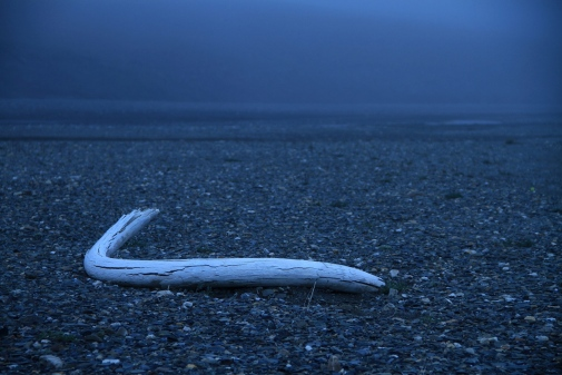 Mammoth tusk on Wrangel Island. Photo: Love Dalén