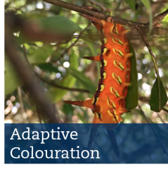 adaptive colouration