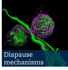 diapause mechanisms