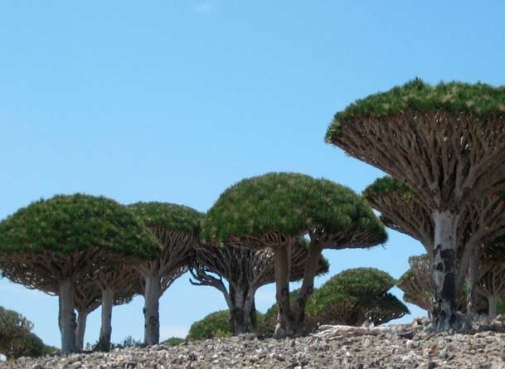 View of Trees in Socotra