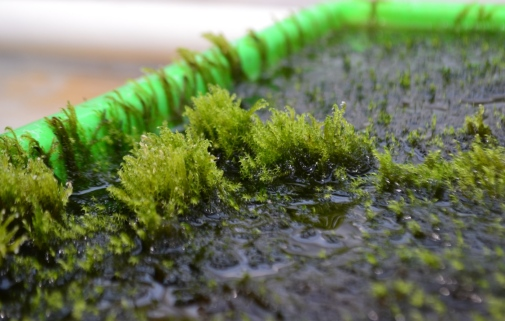 Moss Capable of Removing Arsenic from Drinking Water Discovered!