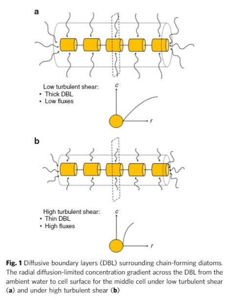 Diffusive boundary layers (DBL) surrounding chain-forming diatoms