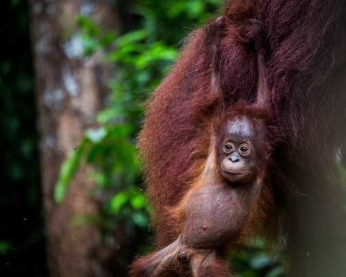 A young orangutang at Tanjung Puting National park, southern Borneo