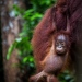A young orangutang at Tanjung Puting National park, southern Borneo. ©Johan Lind/N
