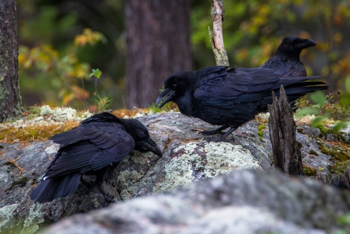 Ravens retrieving cached food in a boreal forests.