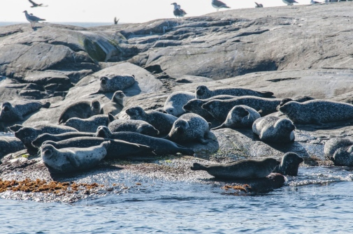 Seals by the water, Photo: Jan Kansanen/Mostphotos