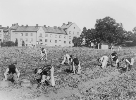 This is photo shows harvesting potatoes in the beginning of the 1900