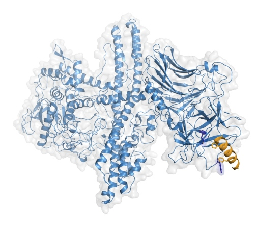 Structure of the engineered botulinum neurotoxin bound to its human receptor.