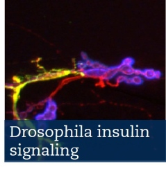 Drosophila insulin signaling