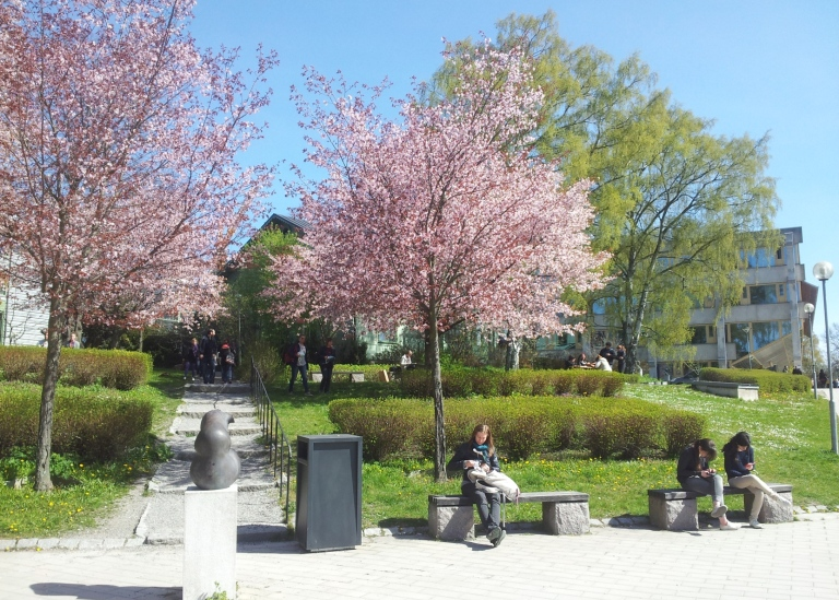 Blooming cherry trees on Campus. Photo: Per Larsson