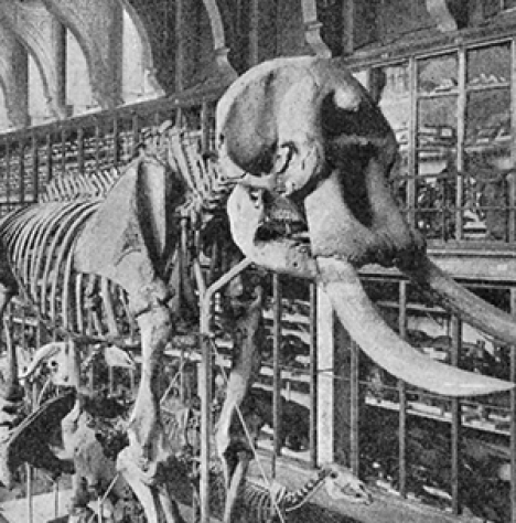 Swedish Museum of Natural History, the collection of mammals at Westman Palace 1897 (detail).