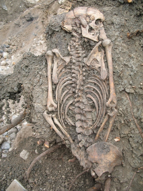 Adult man buried in Sigtuna in the 11th century. Photo: Sigtuna museum