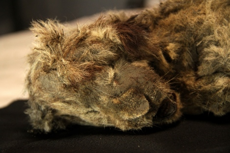 The cave lion Spartak was found in Siberia a few years ago. Photo: Love Dalén