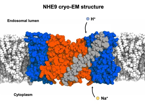 Scientists show how a molecular machine works to regulate our cell's internal pH and sodium levels