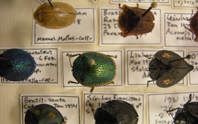 Beetle collection. Clourful beetles pinned to collection labels.