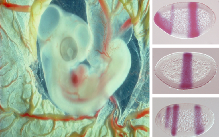 Chicken embryo and fruitfly embryos. Phot