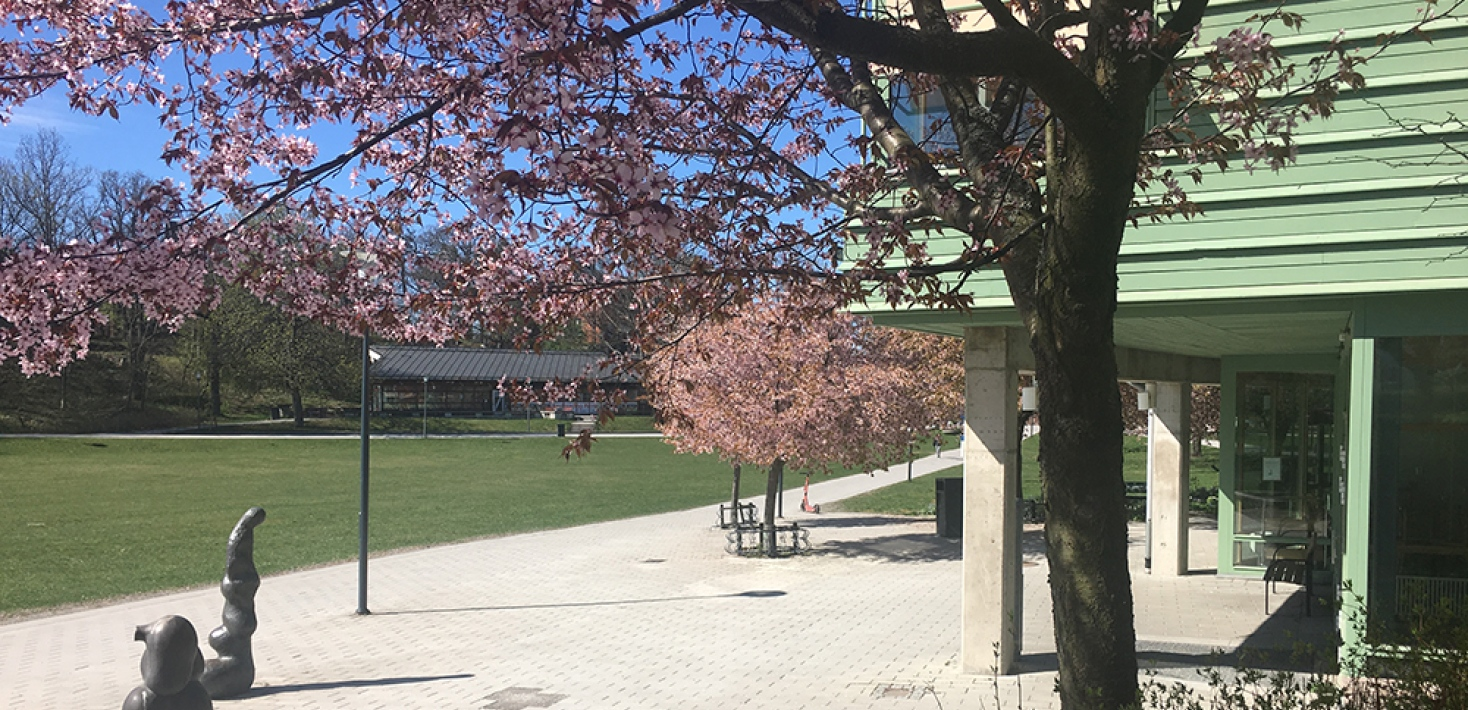 outside of the Geoscience building, stockholm university, cherry blossom trees