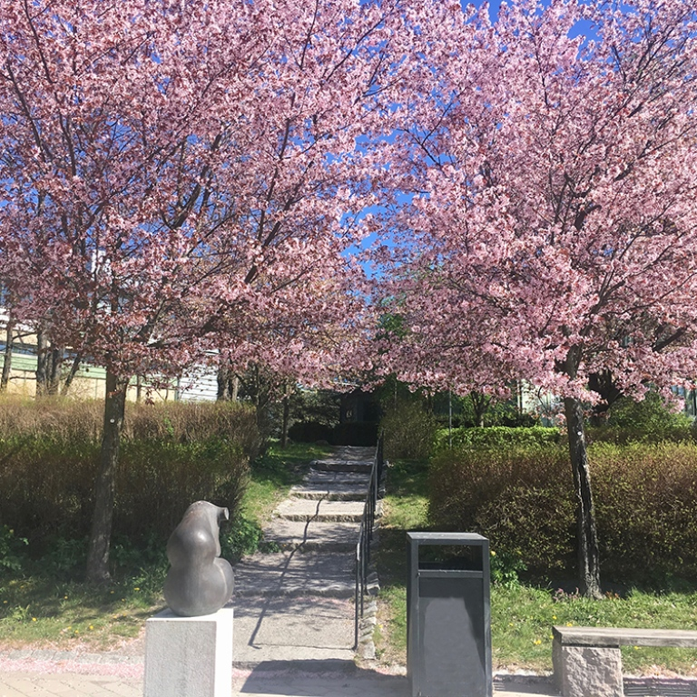outside the Geoscience building, stockholm university, cherry blossom trees