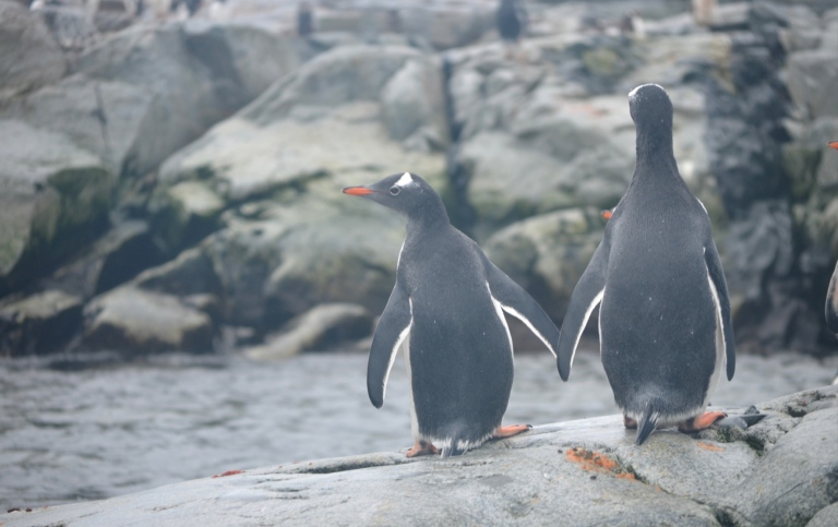 Antarctic penguins standing on a rocky shore