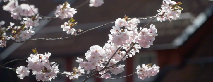Photo: Twig with cherry blossoms