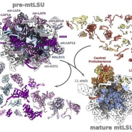 A glimpse into the formation of a mitoribosome